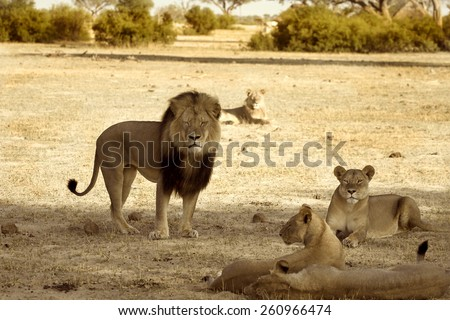 Cecil the iconic lion and his pride in Hwange National Park taken November 2012 - RIP July 2015 - stock photo