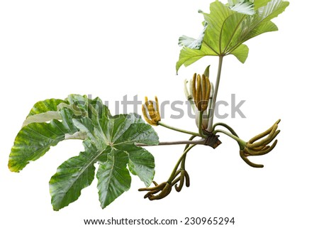 Cecropia yagrumo hembra with snake finger fruit and palmately lobed leaves isolated on white background - stock photo