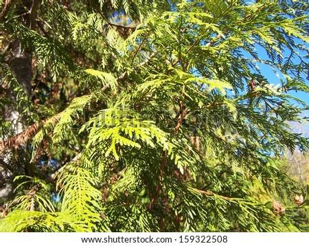 Cedar branches to the sky - stock photo