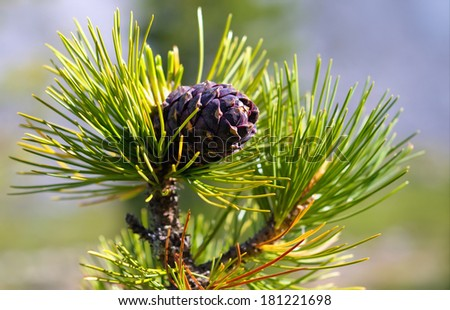 Cedar cone on a branch. Siberian pine nuts cedar (Pinus sibirica) - stock photo