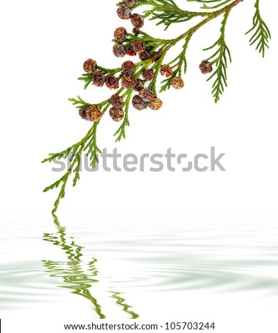 Cedar cypress leyland leaf branch with pine cones over white background with reflection.. - stock photo