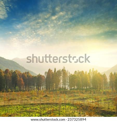 Cedar forest - stock photo