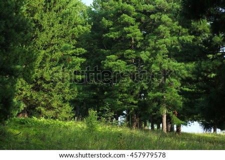 Cedar forest background, old rare trees - stock photo