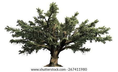 Cedar of Lebanon tree - isolated on white background - stock photo