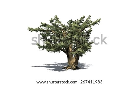 Cedar of Lebanon tree - isolated on white background