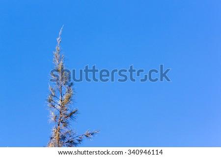 Cedar pine tree crest on against blue clear sky backdrop - stock photo