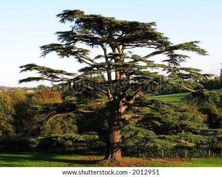 Cedar Tree - stock photo