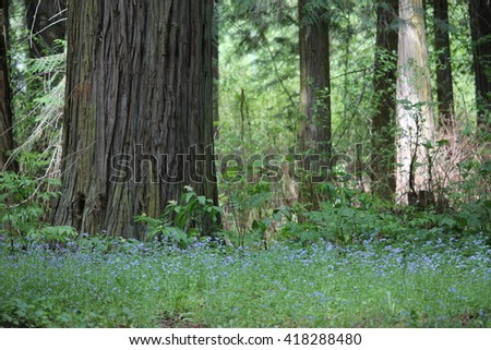 Cedar trees with tiny blue flowers scenic - stock photo