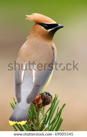 Cedar waxwing - stock photo