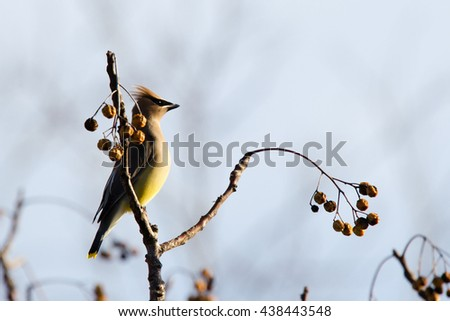 Cedar Waxwing at twilight - stock photo