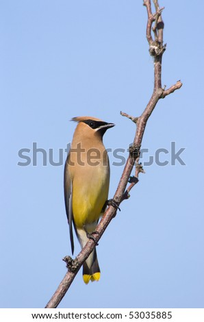 Cedar Waxwing bird sits on a tree branch against a blue sky - stock photo