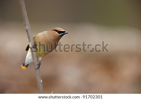 Cedar Waxwing (Bombycilla cedorum), individual with rare orange-tipped tail, sitting on branch. - stock photo