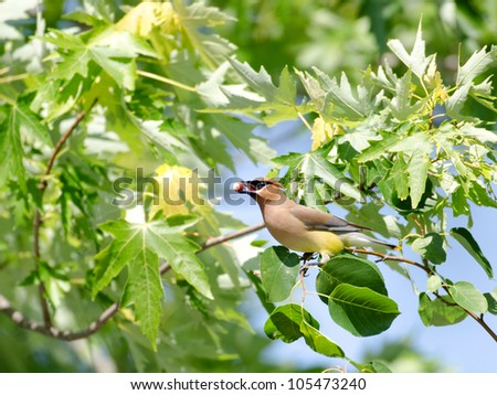 Cedar waxwing eating a berry - stock photo