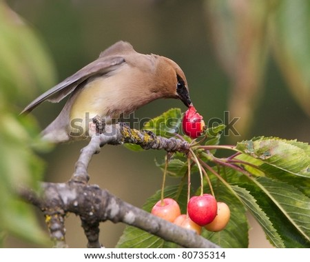Cedar-Waxwing Eating a Cherry
