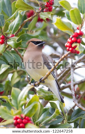 Cedar Waxwing in Holly tree - stock photo