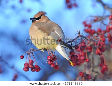 Cedar waxwing perched on branch of crabapple tree full of red berries