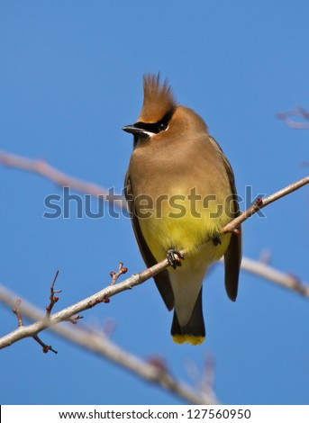 Cedar Waxwing Resting On A Branch - stock photo