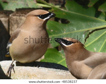 Cedar Waxwings at a  bird bath - stock photo