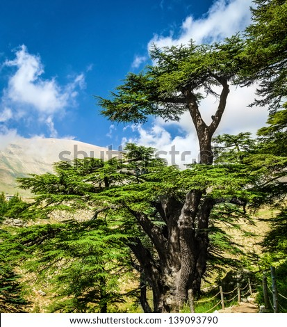Cedar woods in the mountains on blue sky background, Lebanese nature, beautiful landscape, evergreen tree forest, summer tourism concept - stock photo