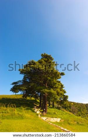 Cedars of Lebanon - Cedrus Libani / Five cedars of Lebanon (cedrus libani) in the hill on blue sky in summer - stock photo
