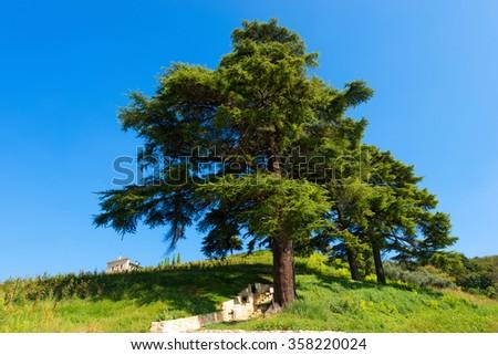 Cedars of Lebanon - Cedrus Libani / Group of cedars of Lebanon (cedrus libani) in the hill on blue sky in summer - stock photo