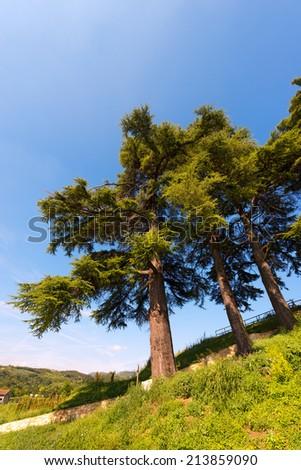 Cedars of Lebanon - Cedrus Libani / Three cedars of Lebanon (cedrus libani) in the hill on blue sky in summer - stock photo
