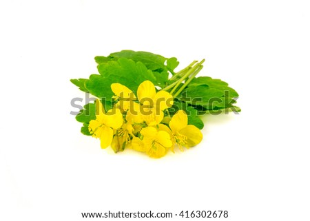 Celandine flowers (killwort) isolated on white background. Medical herb series. - stock photo