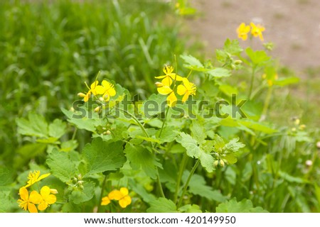 celandine plant in a phase of flowering in the garden - stock photo
