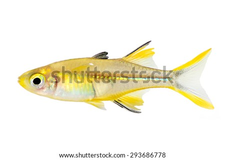Yellow fish stock photos images pictures shutterstock for Yellow rainbow fish