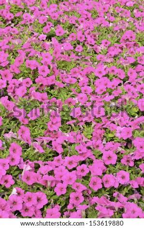Celebration of hot pink: Petunias galore in summer garden (foreground focus) - stock photo