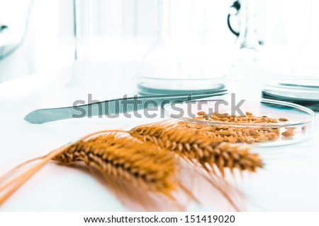 Cell culture assay to test genetically modified wheat .Cell culture - stock photo