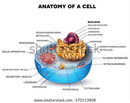Cell structure, cross section of the cell detailed colorful anatomy with description - stock photo