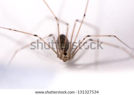 Cellar or daddy longlegs or skull spider (Pholcus phalangioides). Order: Araneae. Family: Pholcidae. - stock photo