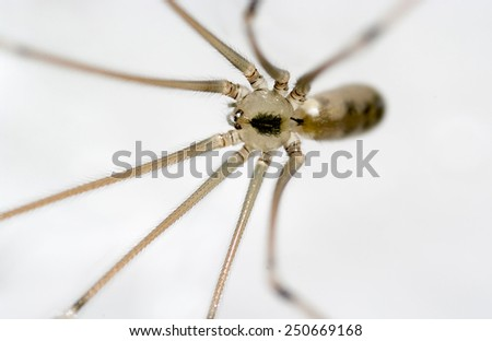 Cellar spider isolated