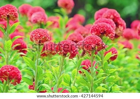 Celosia argentea, cockscomb, red flowers, flower meadow, fluffy flowers,flower in soft tone, red velvet-liked flower - stock photo