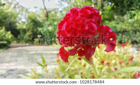 Celosia Cristata Stock Images, Royalty-Free Images ...