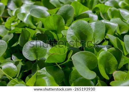 Centella asiatica - stock photo