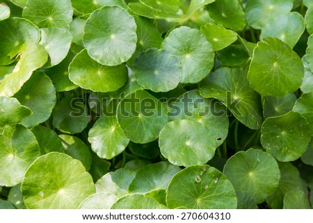 Centella asiatica is a herb plant