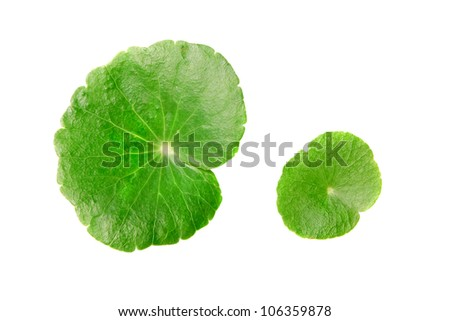 Centella asiatica with with A white background. - stock photo