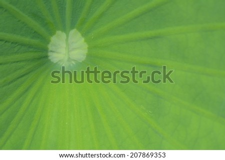 Center of a lotus leaf