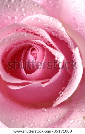 Center of rose in water drops
