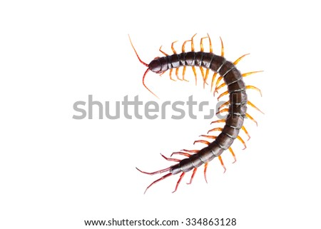 centipede on white background - stock photo