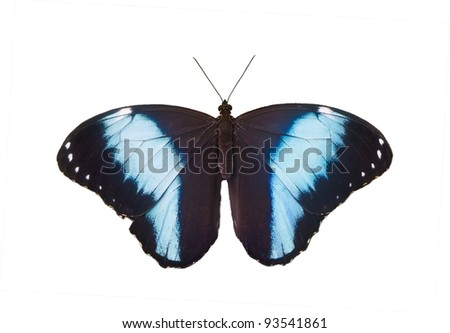 Central American Blue Morpho Butterfly isolated on a white background