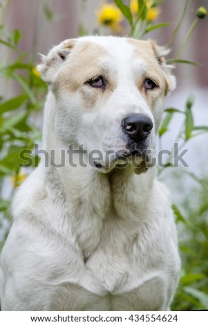 Central Asian Shepherd Dog Laying on grass