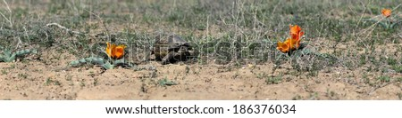Central Asian tortoise (Agrionemys horsfieldii) in desert area, the Southern Kazakhstan - stock photo
