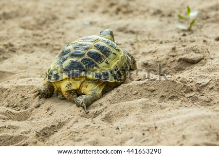 Central Asian tortoise (Testudo (Agrionemys) horsfieldii).