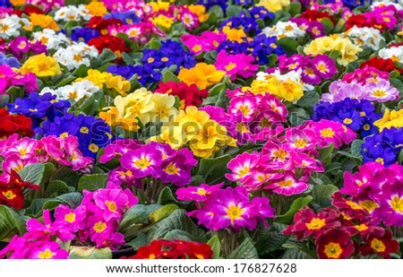 Central focus on a group of brightly colored Primroses - stock photo
