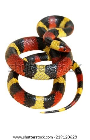 Central Plains Milk Snake on white back ground - stock photo
