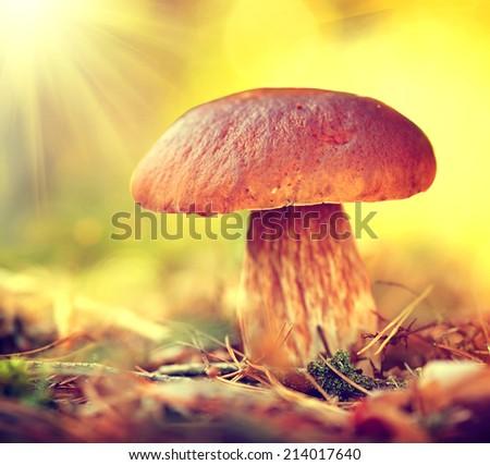 Cep Mushroom Growing in Autumn Forest. Boletus. Mushroom picking  - stock photo
