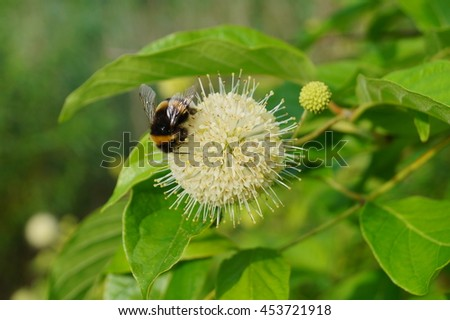 Cephalanthus occidentalis and bumblebee